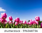 beautiful tulips on blue sky... | Shutterstock . vector #596368736