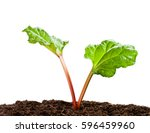 Rhubarb  Plant Isolated On...