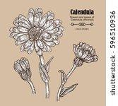 hand drawn calendula flower.... | Shutterstock .eps vector #596510936