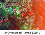 red berries of juniper in... | Shutterstock . vector #596516048