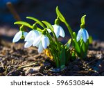 Small photo of Snowdrop. Snowdrop (galanthus). First spring flowers