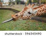 Hungry Giraffe With Long Tongue