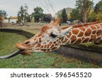 Hungry Giraffe With Long Tongue