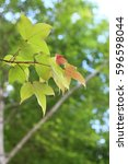 Small photo of Acer buergerianum or Trident maple or maple Taiwan green leaves