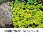Lysimachia Nummularia Aurea ...