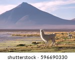 lamas on the lagoon colorada... | Shutterstock . vector #596690330