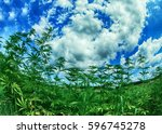 green field of cannabis and the ... | Shutterstock . vector #596745278