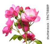 garden rose isolated on white...   Shutterstock . vector #596758889