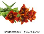 bouquet of tulips isolated on... | Shutterstock . vector #596761640