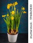 Yellow Miniature Daffodils On ...