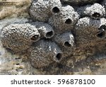 Head  Of American Cliff Swallow ...