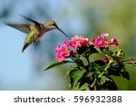 Hummingbird On Lantana