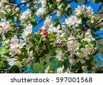Apple Trees Flowers. The Seed...