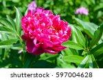 Flower Red Peony