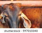 cow in farm are eat grass for... | Shutterstock . vector #597010340