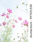 cosmos flower field  beautiful... | Shutterstock . vector #597051530
