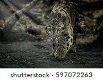 Clouded Leopard Is Walking...