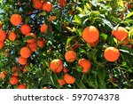 oranges on the tree | Shutterstock . vector #597074378