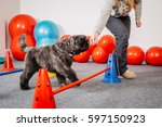 Stock photo dog training in the fitness club 597150923