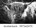 Highland Cow With Tongue On It...