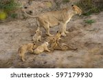 Lioness And Cubs Playing And...