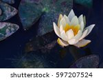 Lotus Flower  White Lotus Flower