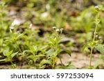 goat weed plants have medicinal