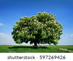 Nicely Shaped Chestnut Tree In...