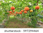 Small photo of orange or yellow pumpkin which climb on pergola tunnel in vegetable garden new agro industry