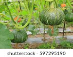 Small photo of green raw pumpkin which climb on wire pergola tunnel in vegetable garden new agro industry