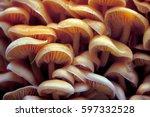 a lot of wood mushrooms. yellow ... | Shutterstock . vector #597332528