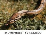 ball python royal outside on... | Shutterstock . vector #597333800