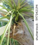 Small photo of Close up shot of Tillandsia pups, new plants forming at the base of the plant. Air Plant
