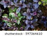 many leaves of ripe purple... | Shutterstock . vector #597364610