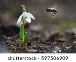 the little white snowdrops... | Shutterstock . vector #597506909