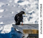 Small photo of Beautiful alpine chough on white snow bachkgound in high mountains, Switzerland