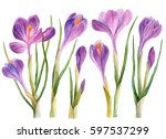 watercolor crocuses isolated on ... | Shutterstock . vector #597537299