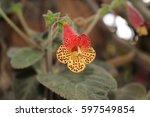 Small photo of Gesneriaceae Flower