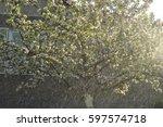 blooming apple tree  | Shutterstock . vector #597574718
