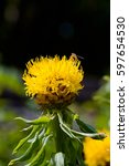 Small photo of Big yellow flower of Bighead knapweed (Centaurea macrocephala)
