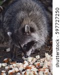 Small photo of A raccoon is about to comically take a huge bite from a pile of bread in the woods of Golden Gate Park, San Francisco. This cute, adorable woodland creature is eating while showing teeth and whiskers.