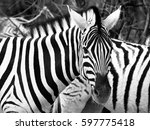 prifile close up shot of wild... | Shutterstock . vector #597775418