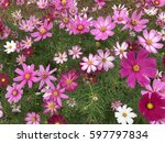 starburst flower fields