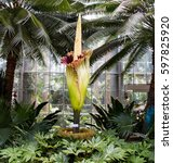 amorphophallus titanum known as ... | Shutterstock . vector #597825920