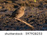young common starling | Shutterstock . vector #597928253