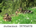 Ducks In The Grass
