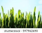 new fresh small grass growth up ... | Shutterstock . vector #597962690