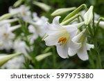 Easter Lily Lilium Longiflorum