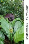 Small photo of This is a black bat flower (Tacca chantrieri). It is bat-shaped and have long 'whiskers'. It is an understory plant so it prefers shade and high humidity environment.