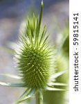 Green Dipsacus Silvester  Wild...